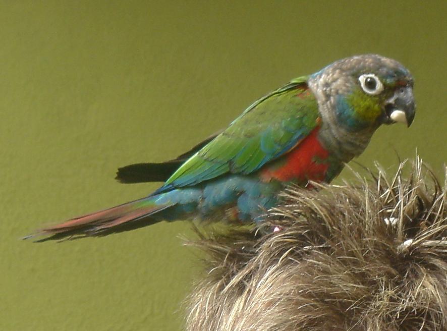 краснохвостый попугай