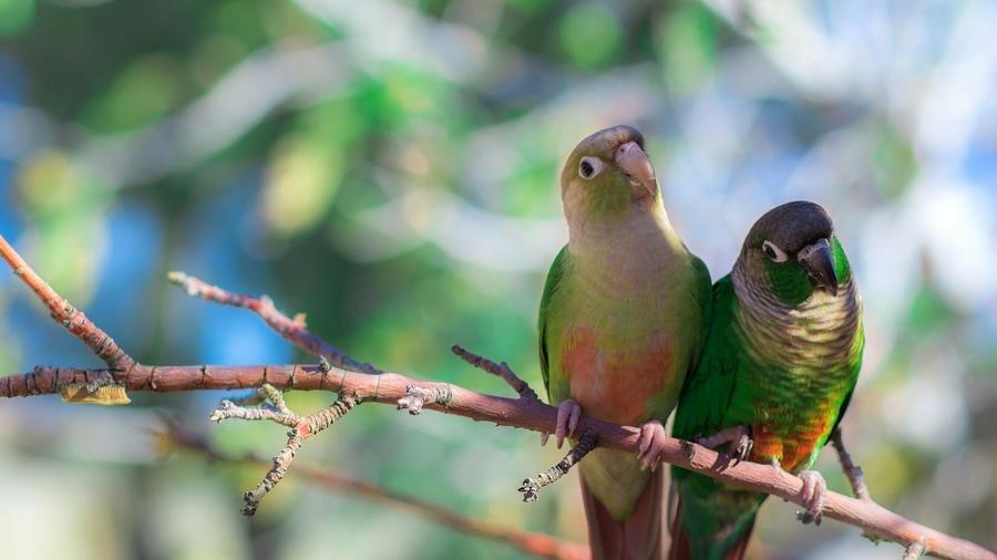 краснохвостые попугаи на ветке