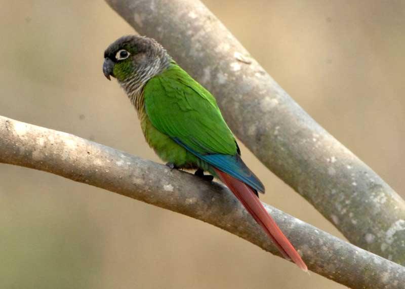 Зеленощекий краснохвостый попугай