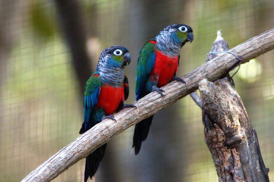 Жемчужные краснохвостые попугаи