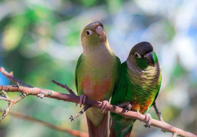 Краснохвостые попугаи