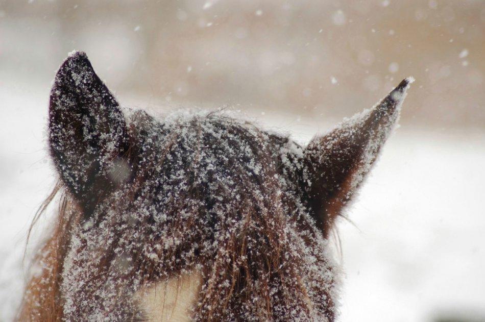Лошадь поворачивает уши фото