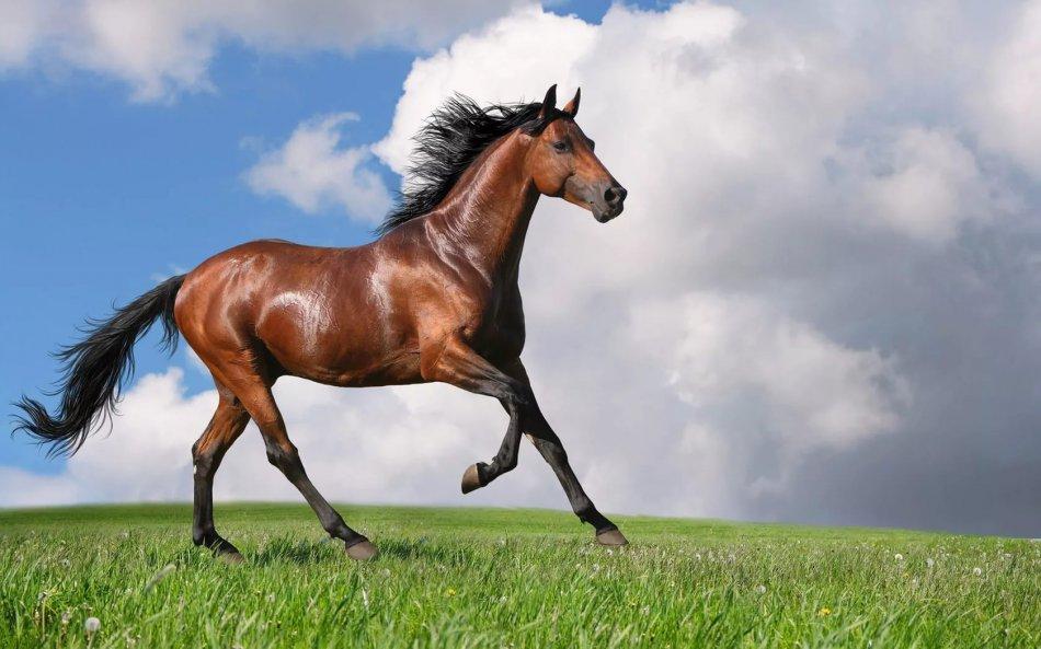 Лошадь гнедой масти фото