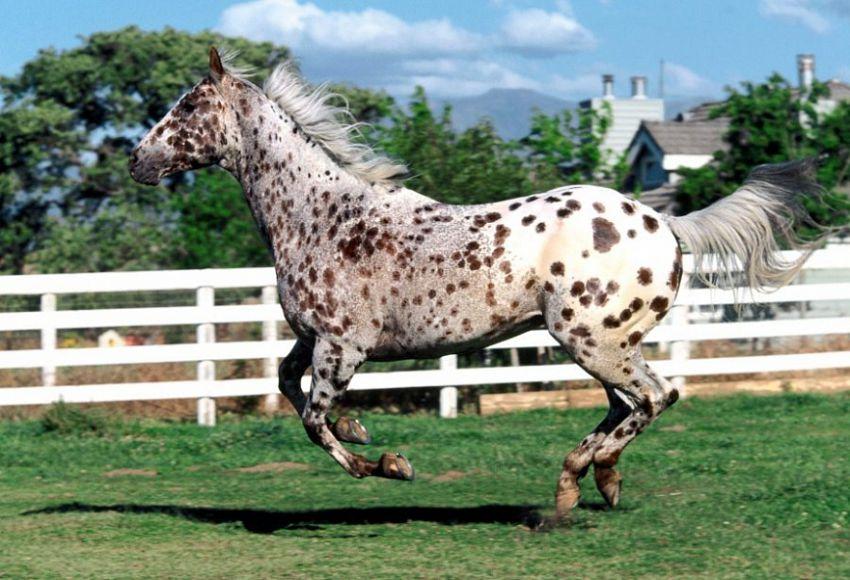 Лошадь чубарой масти фото