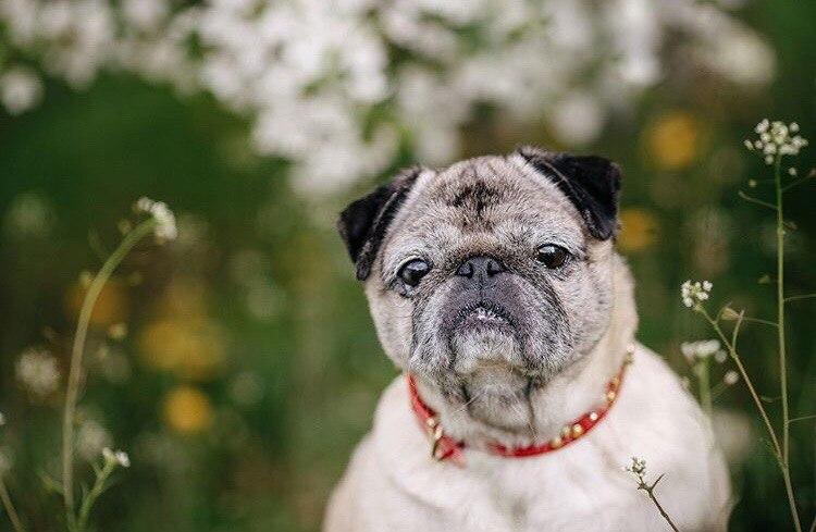 собака, мопс, домашнее животное, дикое животное, спасение, ищу хозяина
