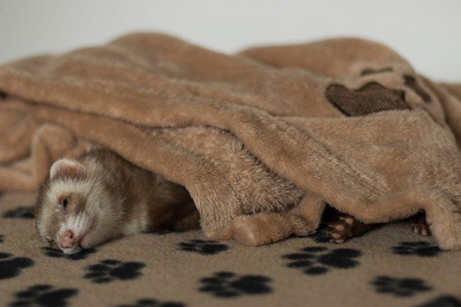 Хорек спит под одеялом фото