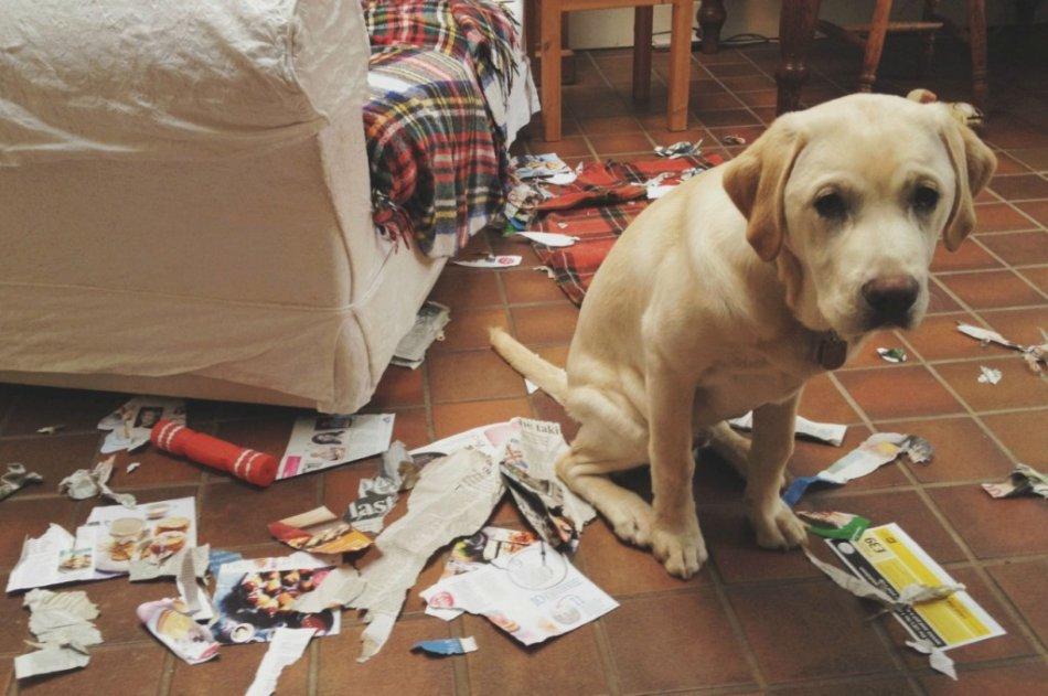 Чувство вины у собак