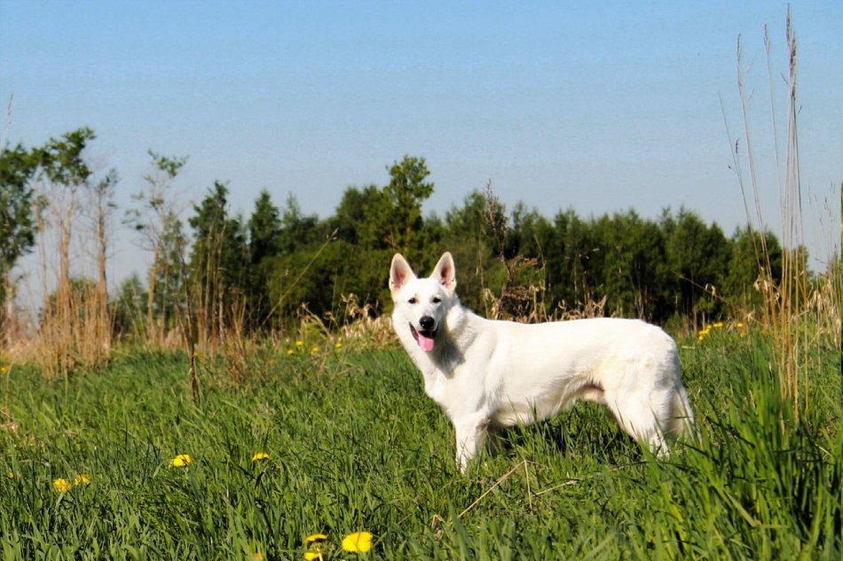 Белая швейцарская овчарка на лугу фото