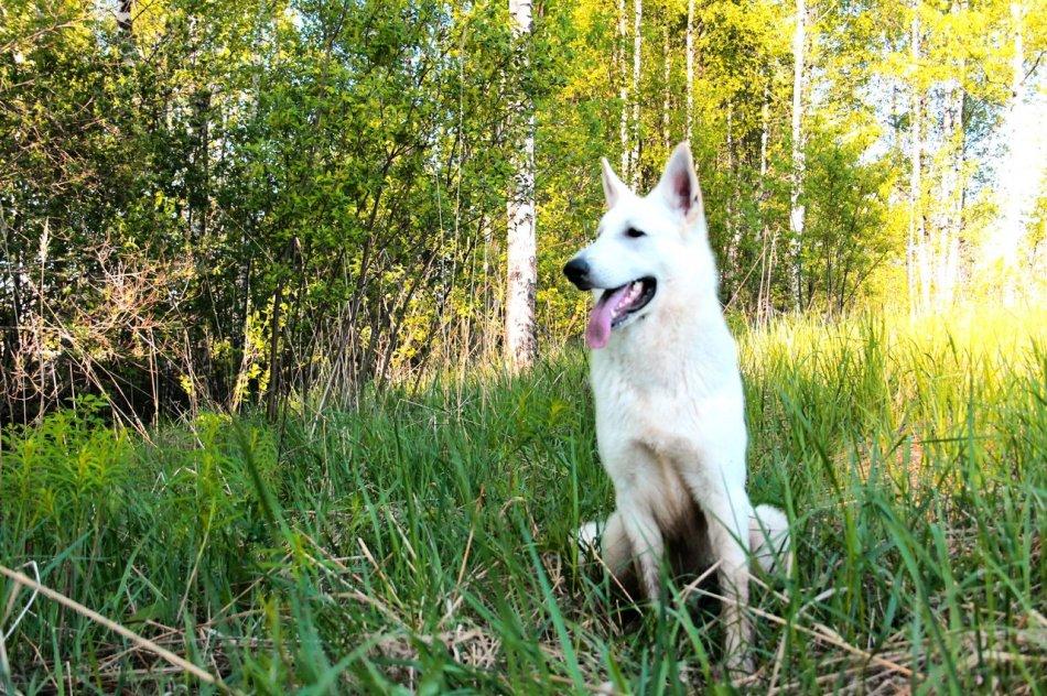 Белая швейцарская овчарка в лесу фото