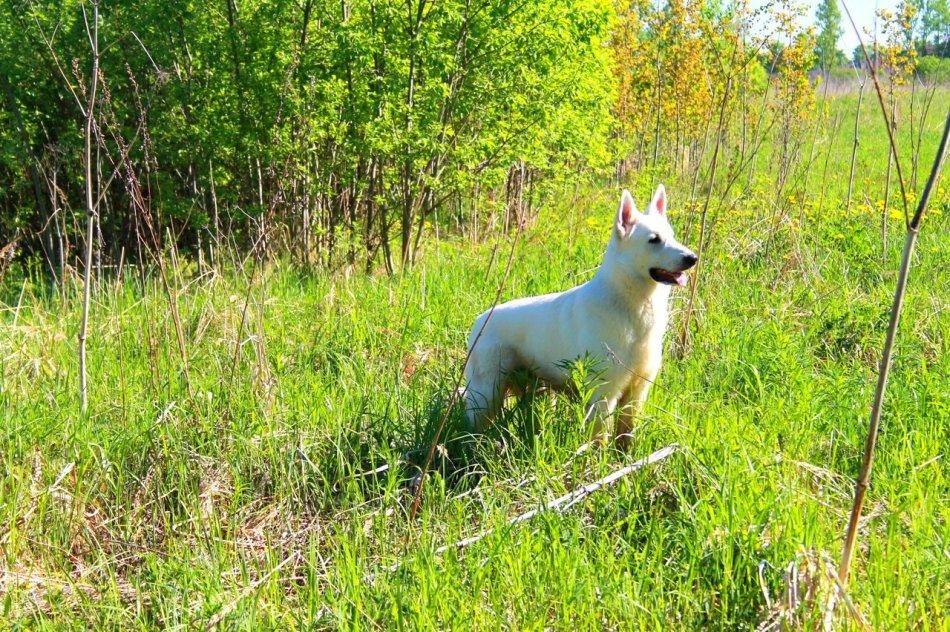 Белая швейцарская овчарка на траве фото