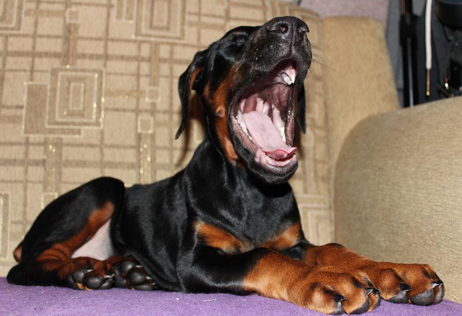 доберман, домашнее животное, дикое животное, собака