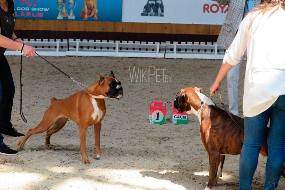 Собаки породы боксер на выставке фото