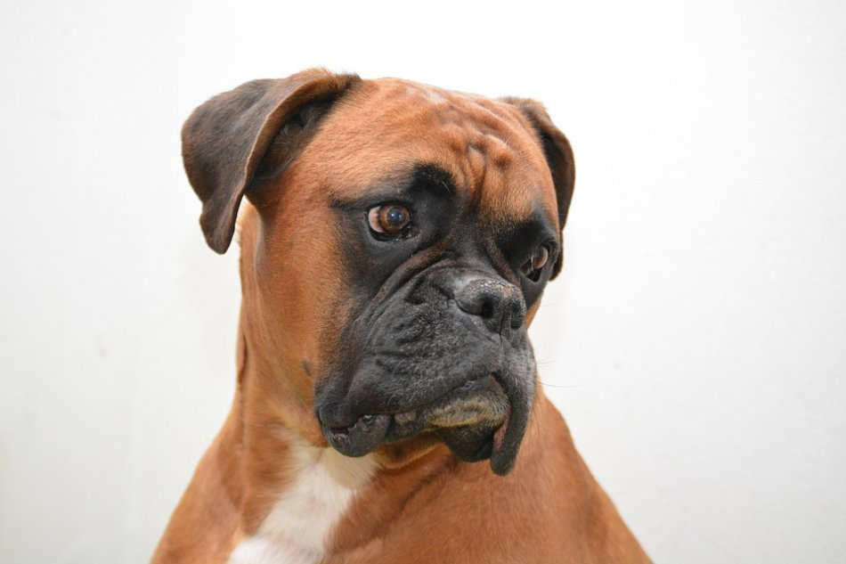 Собака породы боксер фото