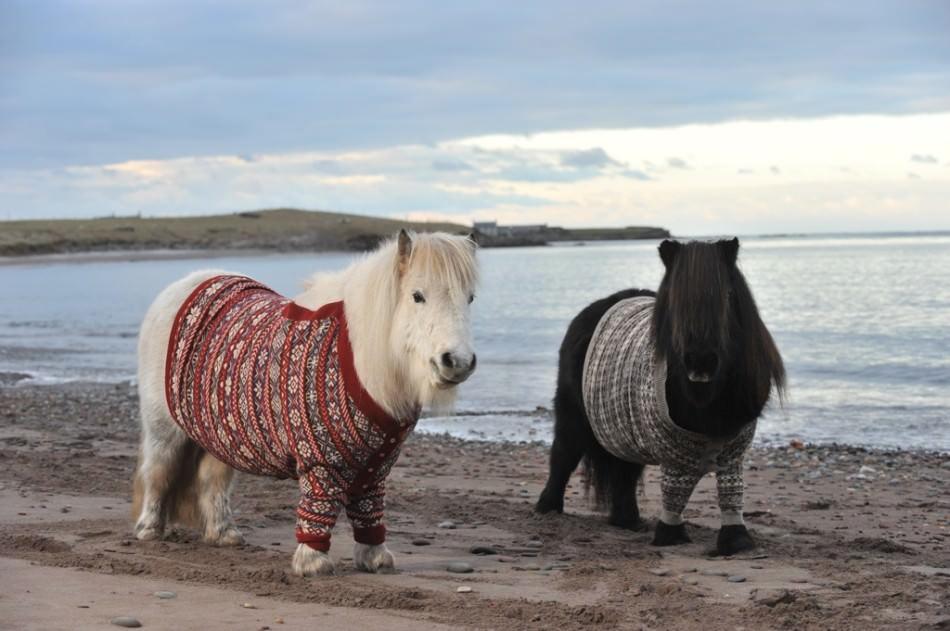 Шетлендские пони в свитерах на побережье фото