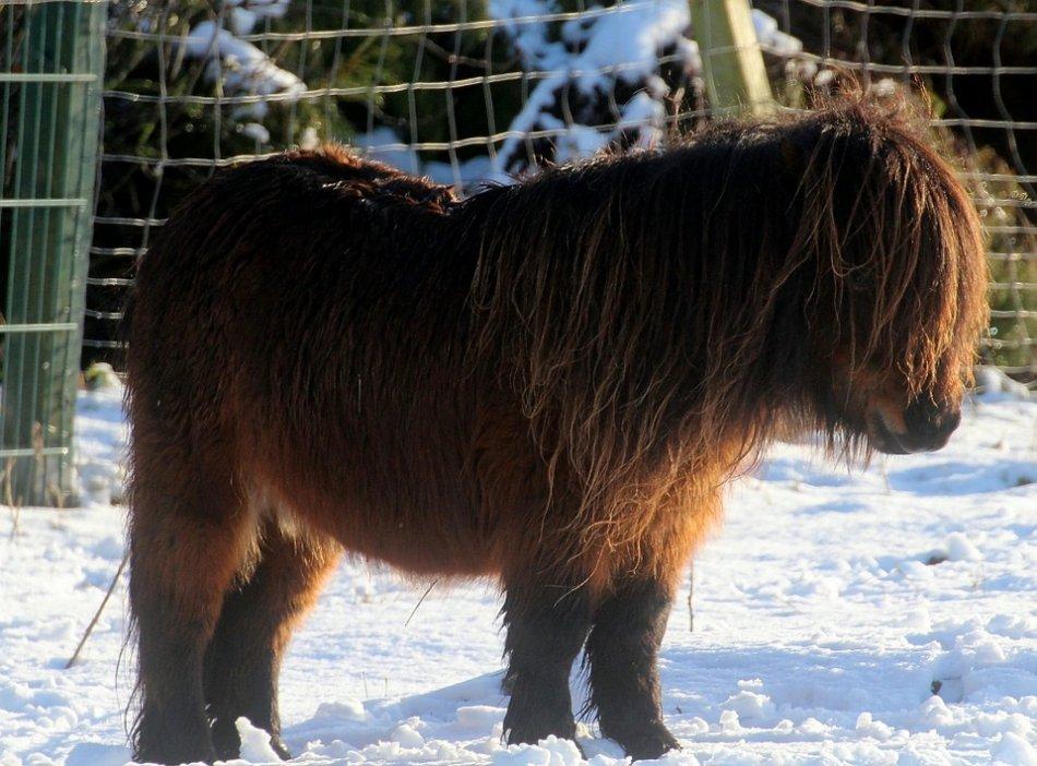 Шетлендский пони на снегу фото