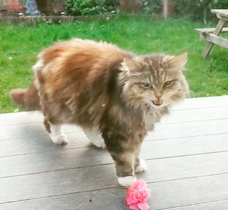 кот,кошка,питомец,домашнее животное,розы,бутоны,лепестки,подарок,газон