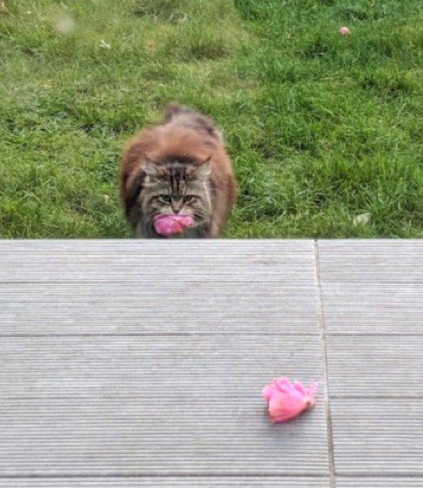 кот,кошка,питомец,домашнее животное,розы,букет,бутоны,подарок,газон
