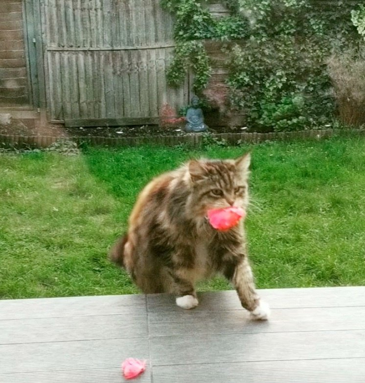 кот,кошка,питомец,домашнее животное,розы,бутоны,лепестки