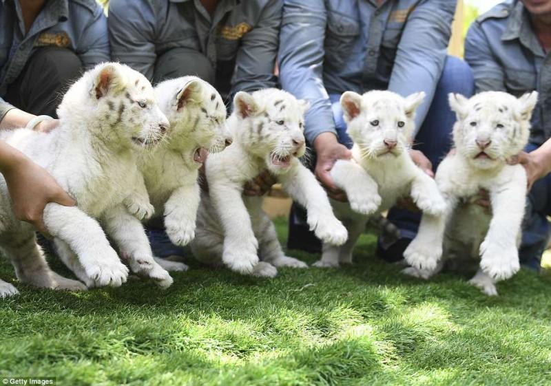 тигры,тигрята,белые тигры