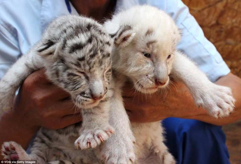 тигр,тигренок,белые тигры
