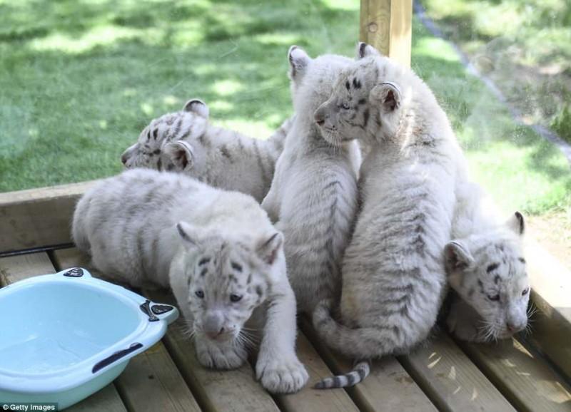 тигр,тигренок,дикое животное