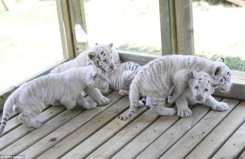 тигр,тигренок,белые тигры,домашнее животное