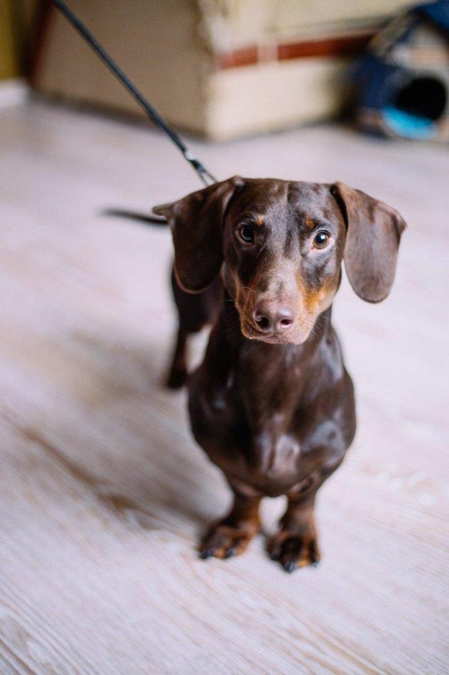 собака,пес,домашнее животное,такса,требуется помощь,ищу новый дом