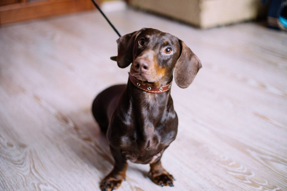 собака,пес,такса,домашнее животное,ищу новый дом