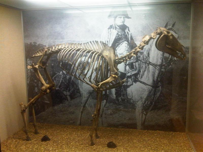 Скелет коня Наполеона Маренго в Лондонском музее фото
