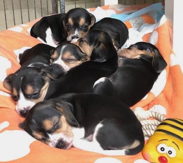 собака,пес,домашнее животное,эксперименты,ребуется помощь