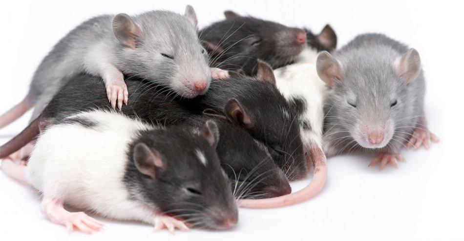 Крысята фото