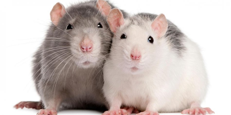Пара крыс фото