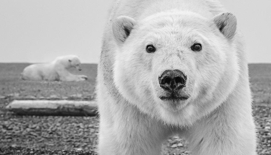 белый медведь вблизи