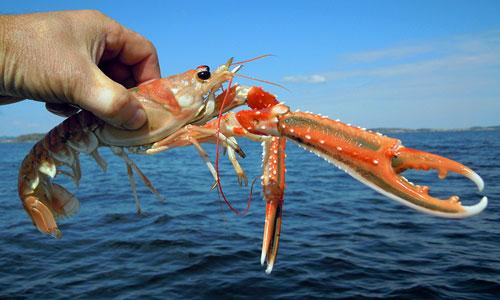 омар, дикое животное, морское животное