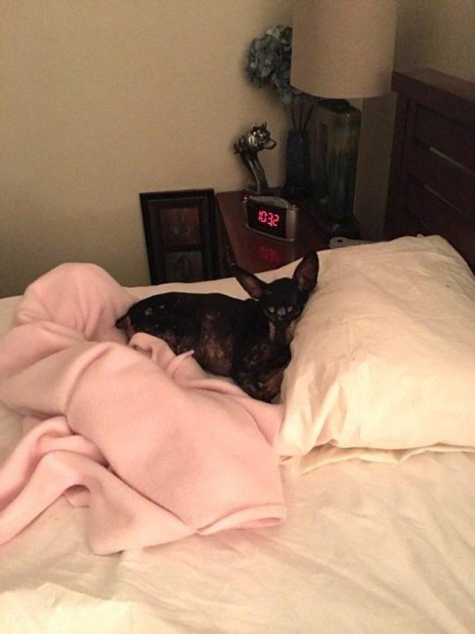 собака,пес,домашнее животное,постельное белье
