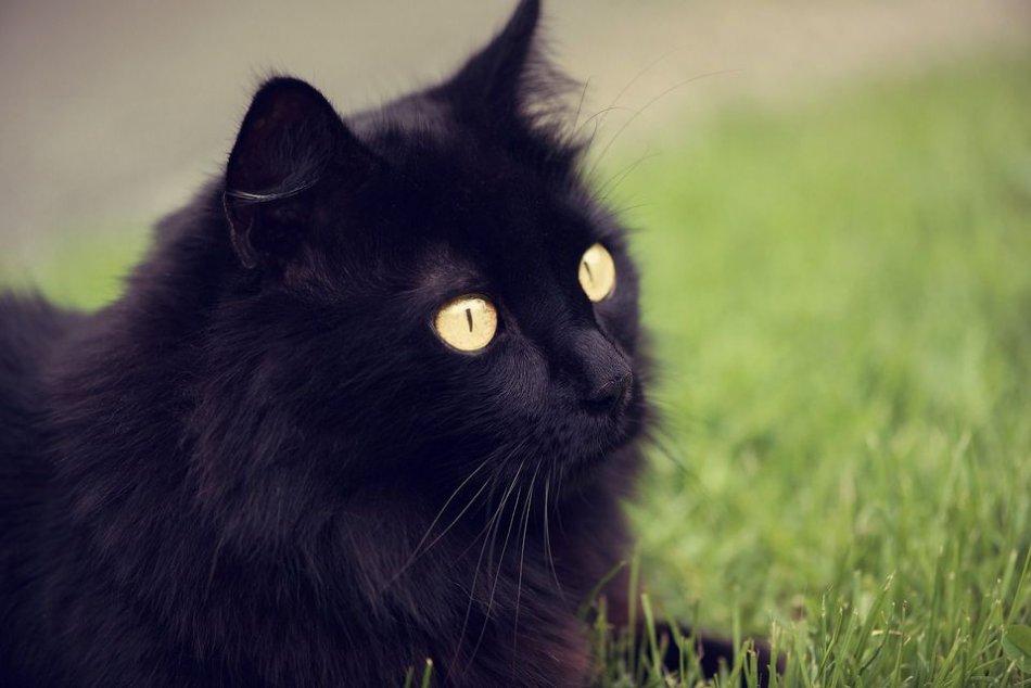 Черный кот на траве фото