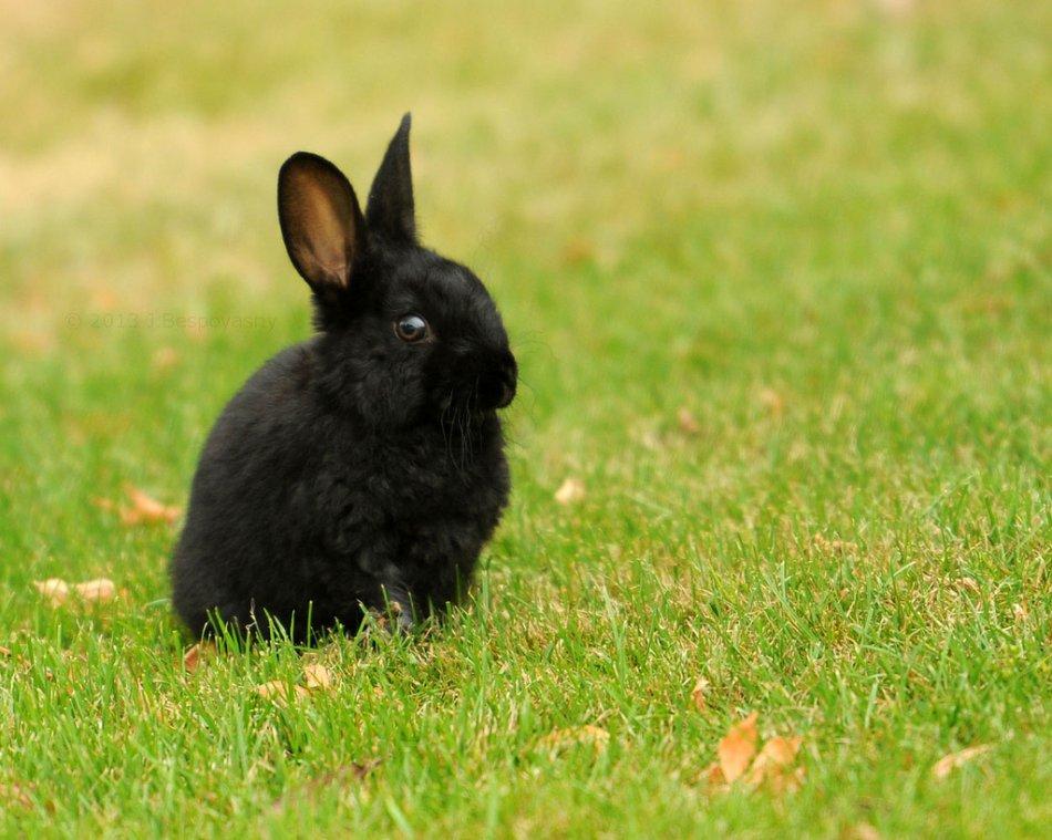 Черный крольчонок на траве фото