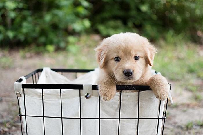 собака,щенок,домашнее животное,подарок,сюрприз,корзинка