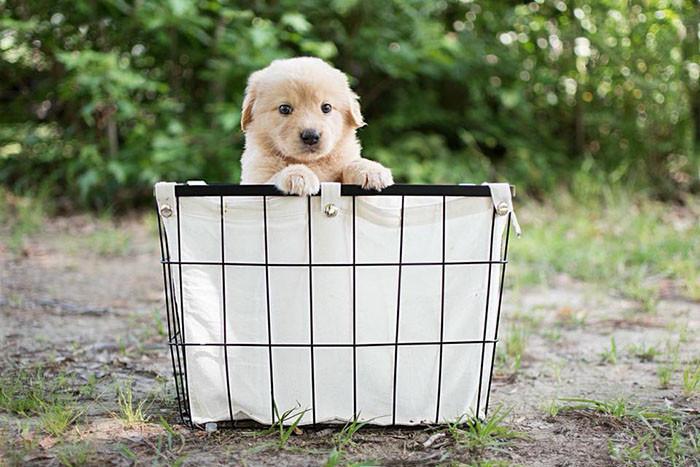 собака,пес,домашнее животное,щенок,подарок,сюрприз,корзинка