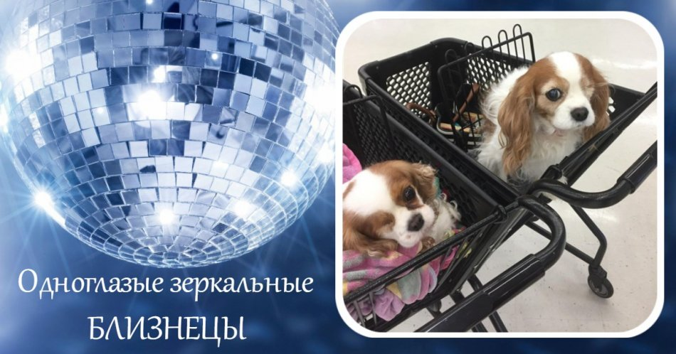 Кавалер кинг-чарльз-спаниель,собака,пес,домашнее животное
