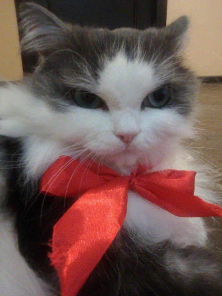 кот,кошка,питомец,домашнее животное,бантик
