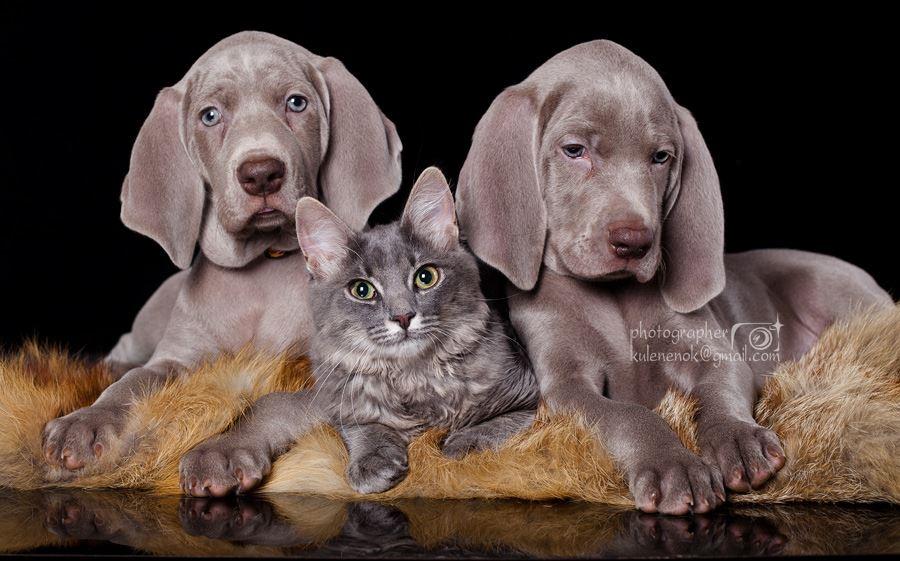 Щенки веймаранера и котенок фото