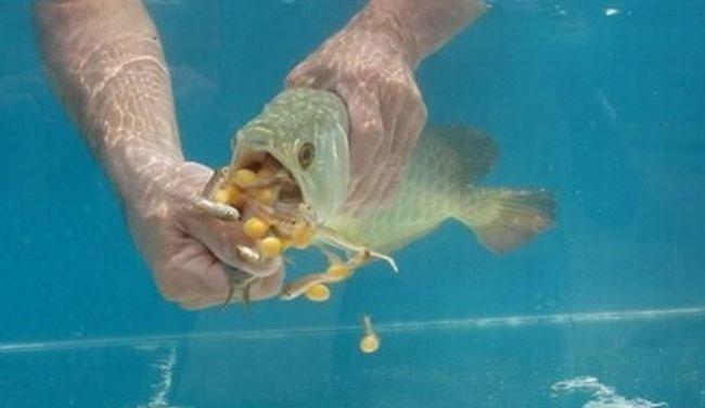 рыба, арована