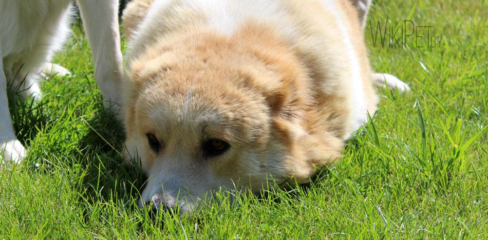Среднеазиатская овчарка лежит на траве фото