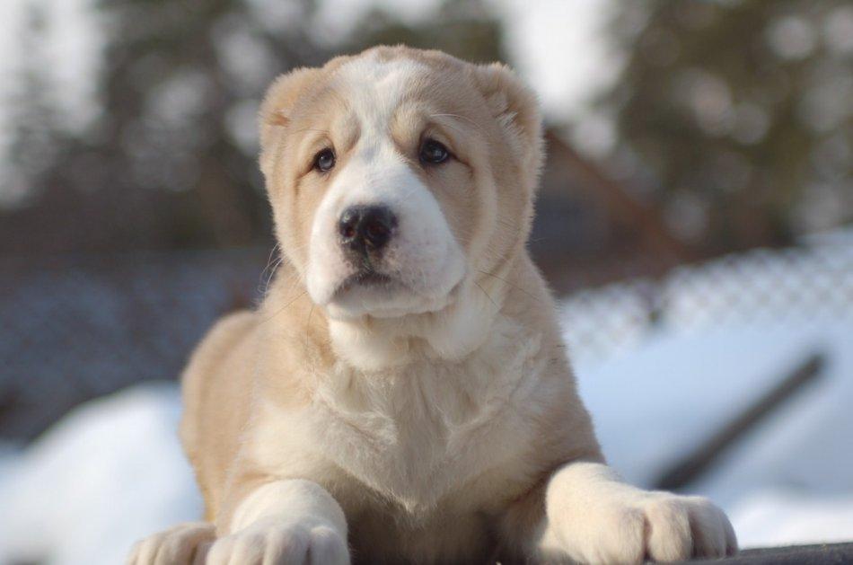 Смотреть картинки про собак алабаев