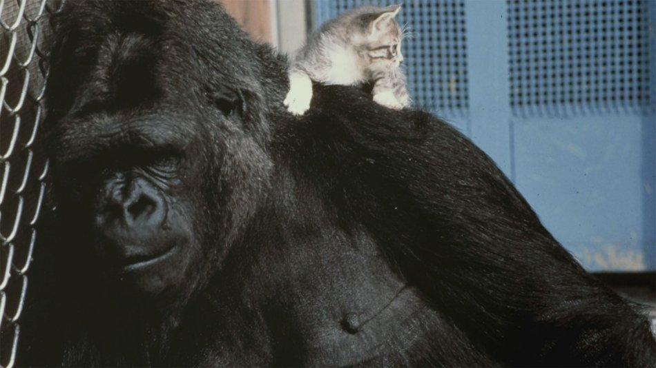Горилла Коко и ее котенок фото