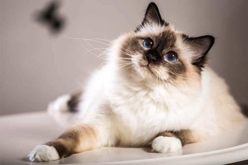 Бирманская кошка описание фото