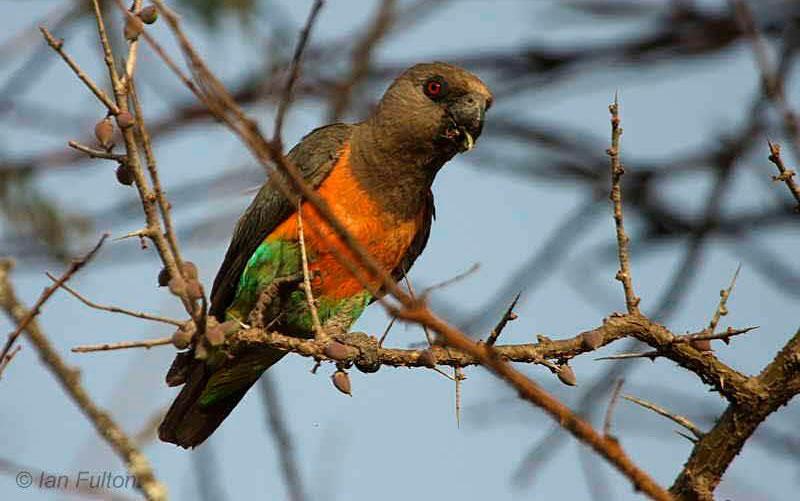 Красногрудый длиннокрылый попугай
