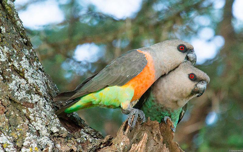 два Красногрудых длиннокрылых попугая