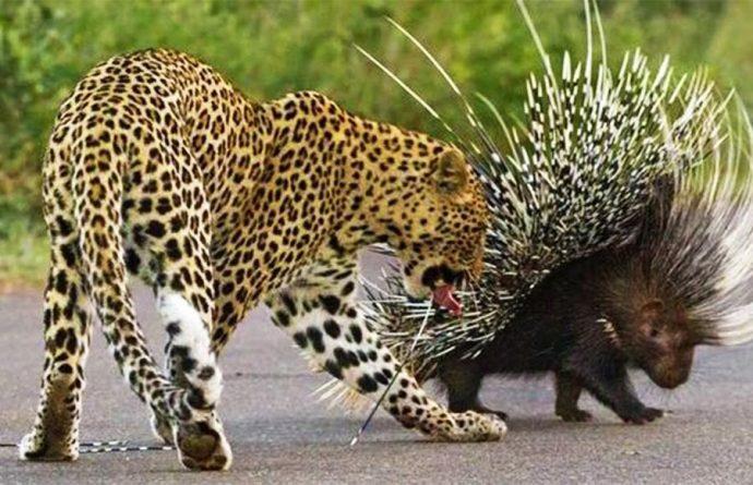 дикообраз, дикое животное